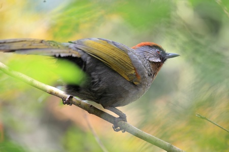 ruise�or: leiothrix Quelea, China nightingale