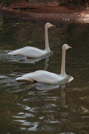 White Swan photo