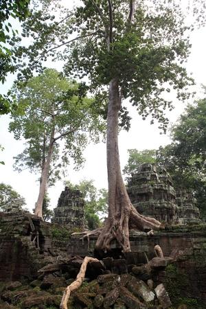strangler: Ta Prohm Temple, Angkor Wat, Cambodia