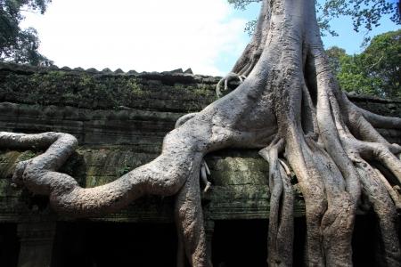 angkor: Ta Prohm Temple, Angkor Wat, Cambodia