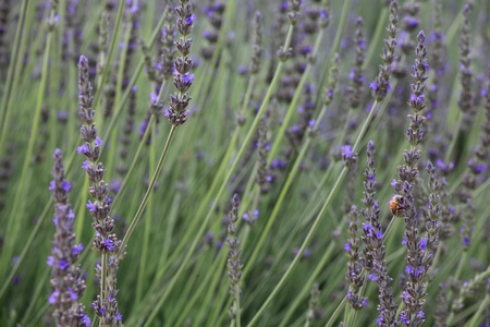 lavender and bee. closeup detail of a herbal plant photo