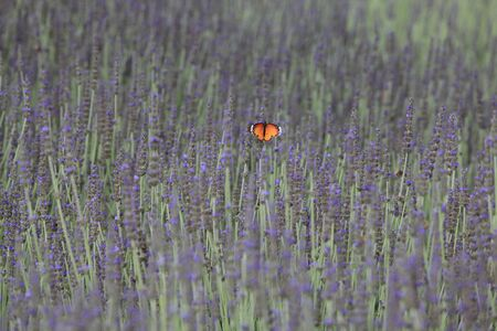 lavender and butterfly photo