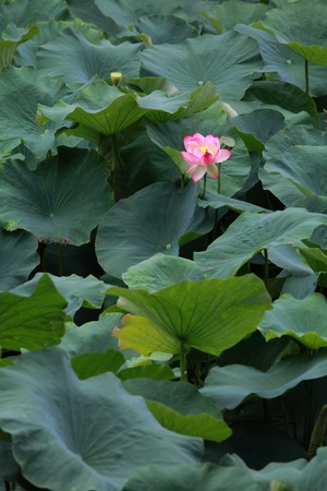 pink sacred lotus Stock Photo - 10270622