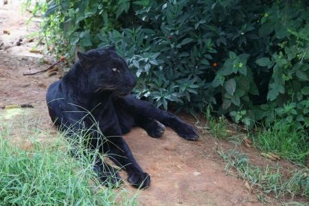 Black Leopard Stock Photo - 15648512