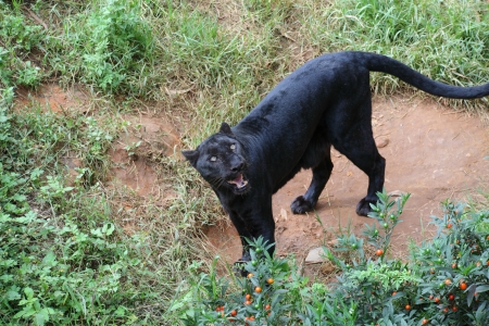 Black Leopard photo