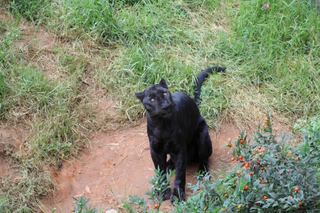 Black Leopard Stock Photo - 15700927