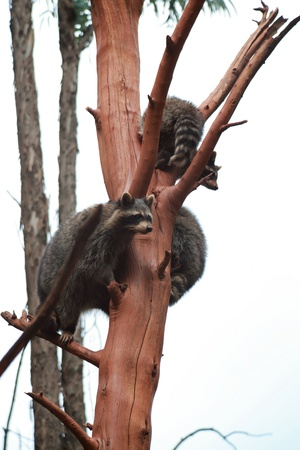 Common Raccoon  Procyon lotor photo