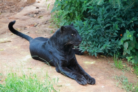 Black Leopard Stock Photo - 15698452