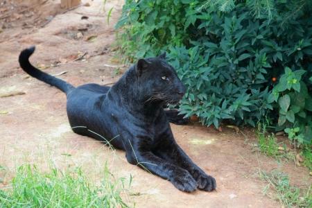 Black Leopard Stock Photo - 15698452