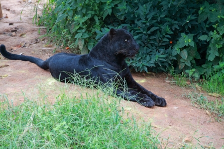 Black Leopard Stock Photo - 15698458