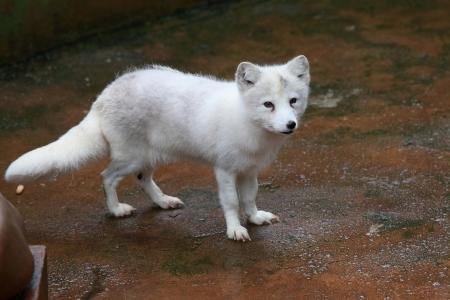 White Fox photo