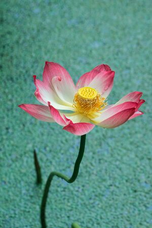 pink sacred lotus photo