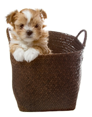 a small fluffy brown puppy looking shyly out of a brown basket isolated on a white background.