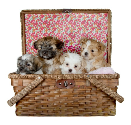 basket: Four adorable shih tzu puppies poking their heads out of a picnick basket, isolated on a white background