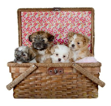 picnick 바구니의 머리를 파고 개의 사랑스러운 신쭈 강아지, 흰색 배경에 고립