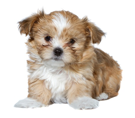 a cute brown and white fluffy puppy, isolated on a white background photo