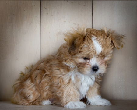 down sitting: A cute fluffy brown puppy looking down sitting in front of light colored wood paneling.