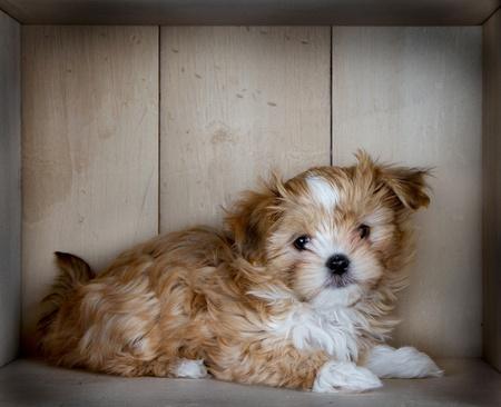 holzvert�felung: Eine niedliche kleine und flauschigen braunen und wei�en Hund zur Festlegung in einer Box mit heller Holzvert�felung.