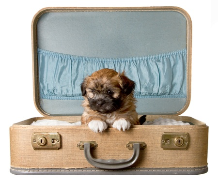 a cute brown fluffy small puppy, sits in a vintage suitcase, isolated on a white background