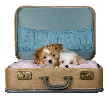 shih tzu: Adorable puppies in a vintage suitcase, isolated on a white background. Stock Photo