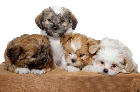 shih tzu: Four adorable puppyin sitting or laying on a wood plank isolated on a white background