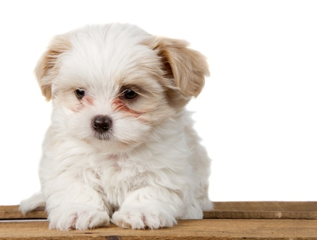shih tzu: A small white shih tzu puppy sitting on a plank with a sad look