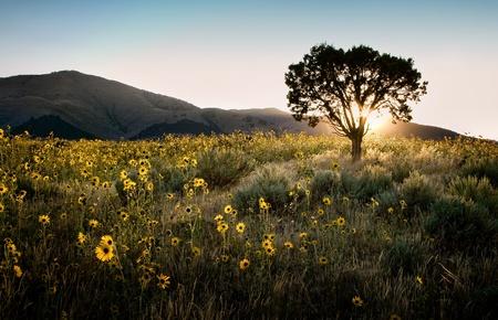 Sun shining through a juniper tree with sunflowers, sagebrush, and mountains landscape. Foto de archivo
