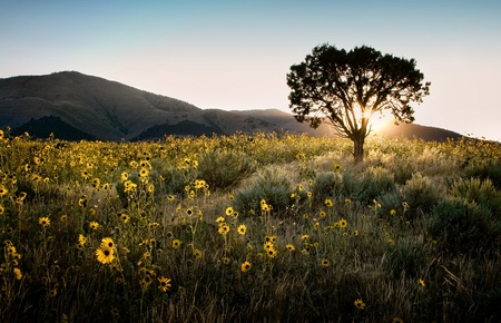 Sun shining through a juniper tree with sunflowers, sagebrush, and mountains landscape. photo