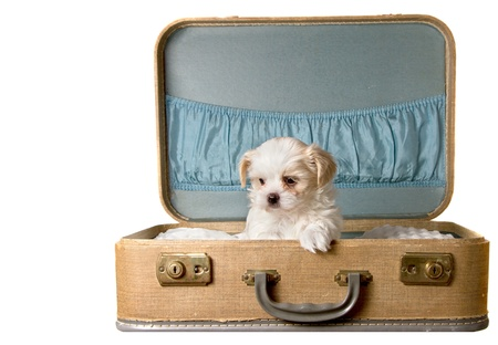 Tiny puppy in a vintage suitcase, isolated on white photo