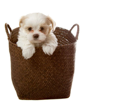 White shih tzu puppy in basket isolated on white photo