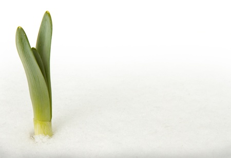 Green leaes emerging through the spring snow, white background