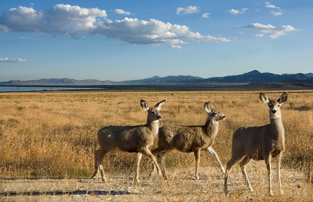 mule deer: Mule deer in a scenic landscape, three female deer mountains and lake in background. Stock Photo
