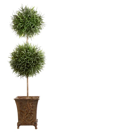 ornamental shrub: Double ball topiary isololated on white background
