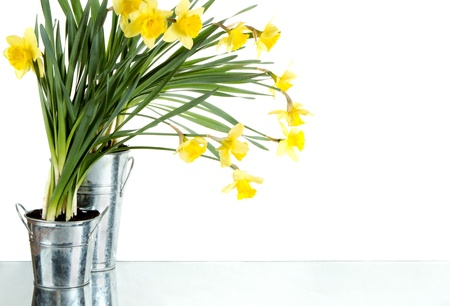 Daffodil still life growing in metal pots, isolated on white background photo