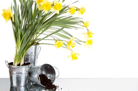Daffodil still life growing in metal pots, soil spilling from container, isolated on white background photo