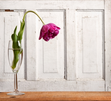 dead flowers: Wilted tulip, aging or depression concept