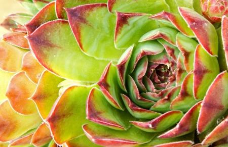 鶏とひよこやベンケイソウ科の多肉植物の花のクローズ アップ 写真素材