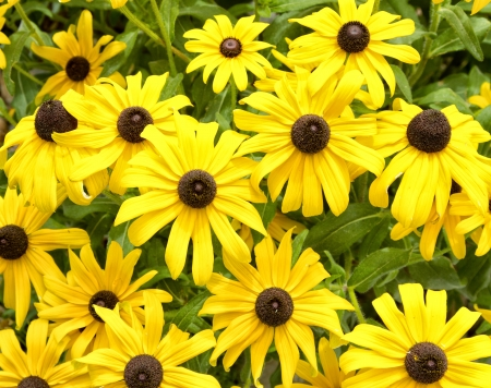 Black eyed susan flowers background Stock Photo - 14667449