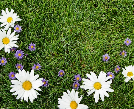 Marguerites blanches et violettes sur fond d'herbe pour photo
