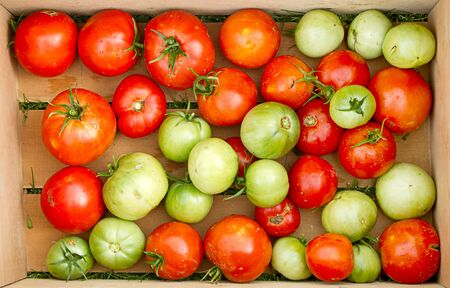Organic tomatoes in a crate, freshly picked red and green photo
