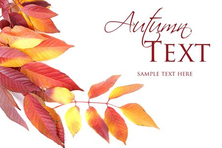 Autumn leaves red and yellow on white background Stock Photo - 16758185