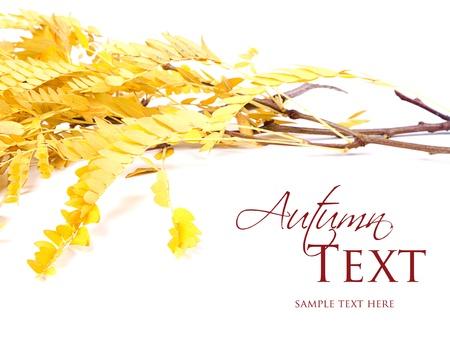 Autumn leaves, yellow, on white background Stock Photo - 16758189
