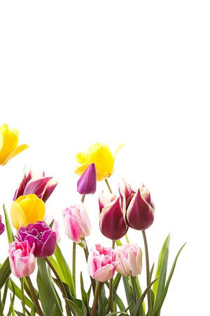 Tulips on an isolated white background Stock Photo