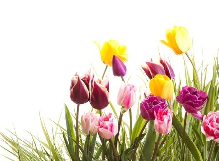 Tulips on an isolated white background Фото со стока