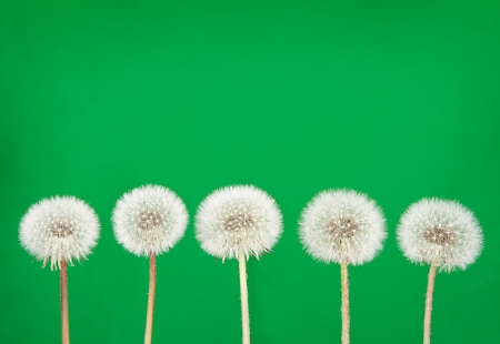 posterity: danelion fluff or seeds on a green background