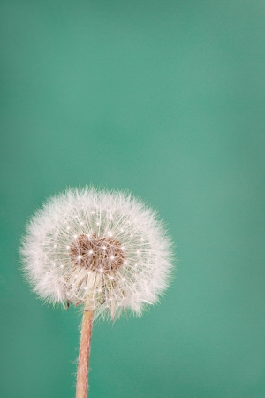 posterity: danelion fluff or seeds on a teal or green background