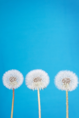 posterity: danelion fluff or seeds on a blue background