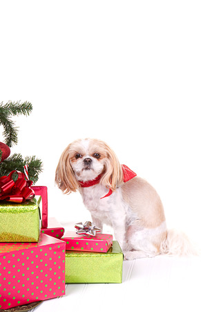Small dog wearing Christmas bow sitting by Christmas tree and presents with and isolated white background photo