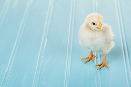 baby chick: One baby chick on a blue background, spring time or Easter Stock Photo