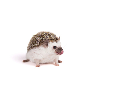 A pet hedgehog sticking out its tongue or licking its nose on an isolated white background Foto de archivo